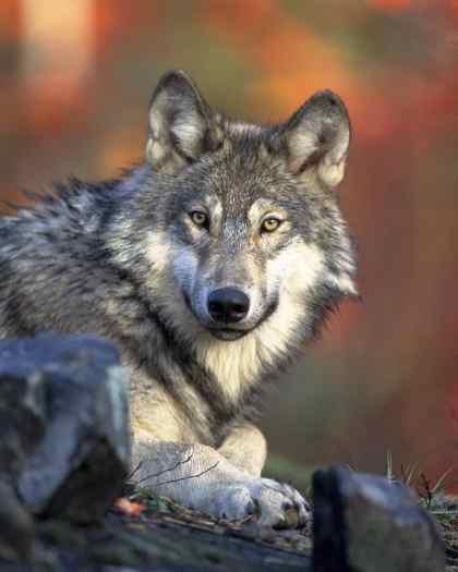 gray-wolf-gaze.jpg
