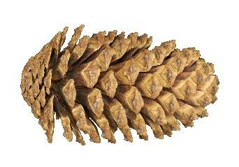 pinecone_white